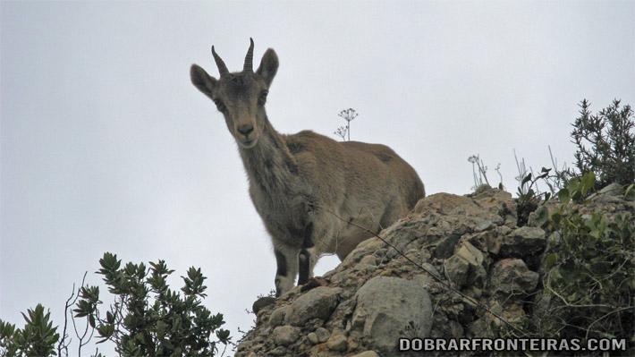 Uma cabra, bem mais preparada para estas andanças em Montserrat