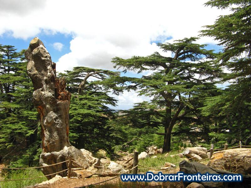 Cedros Líbano