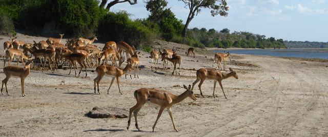 Impalas, Parque de Chobe, Botswana