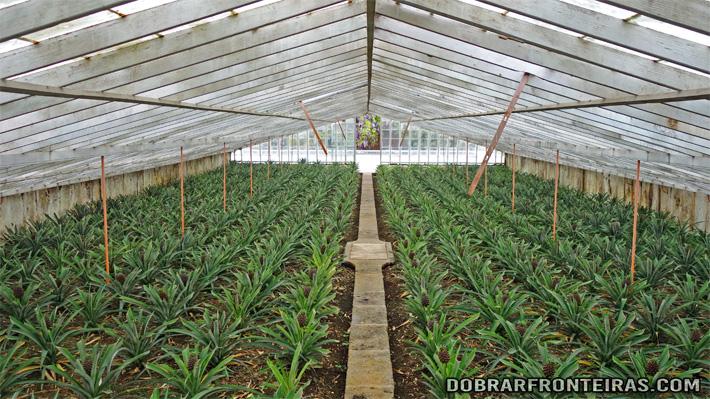 Interior das estufas de ananases na Fajã de Baixo, Açores